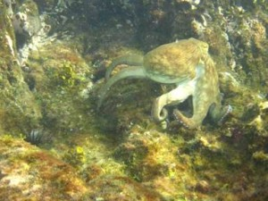 Guests find an octopus while diving the BVI