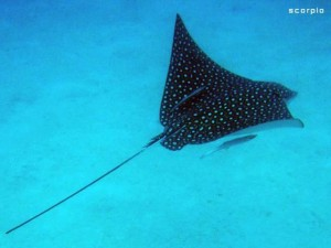 Denizens of the Deep? Richard and Jan aboard SCORPIO provided us with this handsome Spotted Eagle Ray.