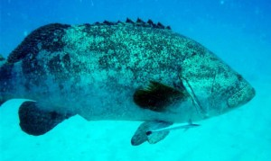 To lend some scale, the remora trailing this goliath grouper is one foot long