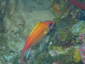 A Longjaw Squirrelfish shot at Rainbow Canyons off Pelican Island, BVI