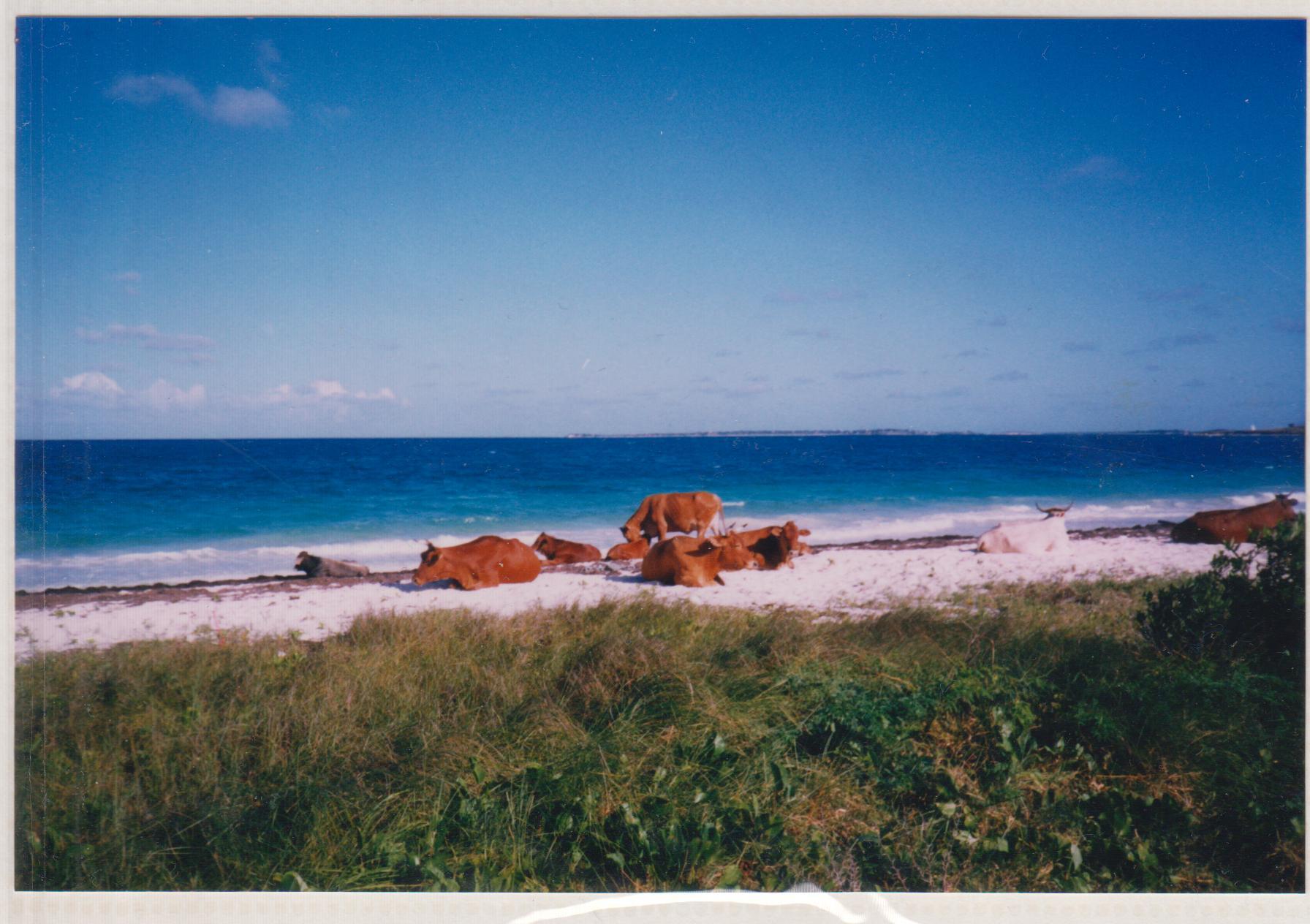 Cows on a beach in Antigua, Nicholson Yacht Charters, Caribbean weather